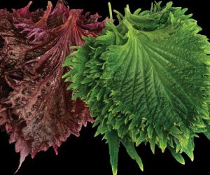 Shiso Κόκκινο – Πράσινο Φυλλο